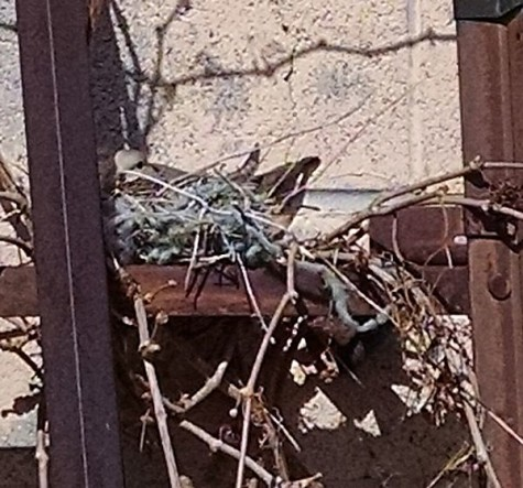 Celebrate Spring Nesting Dove at WildWestPaperArts.com